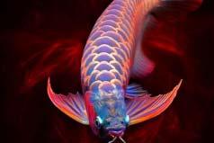 世界上最贵的观赏鱼,血红龙鱼价值60万美元