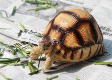 全世界上最贵的乌龟,安哥洛卡象龟价值1百万