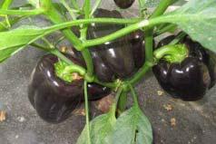 世界上最不辣的辣椒,紫玉甜椒辣度为0
