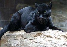 世界十大少见的黑色动物,墨西哥黑王蛇上榜