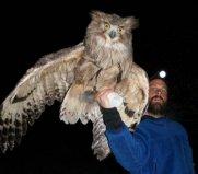 世界上最大的猫头鹰,毛腿鱼鸮体长可达77cm