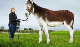 世界上最高最大的驴,身高接近173厘米