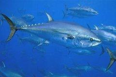 十大营养价值最高的鱼:带鱼排第三,蓝鳍金枪鱼第一