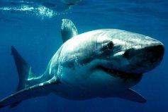 世界最凶猛鲨鱼排名前十:噬人鲨第一,鲸鲨仅居第五