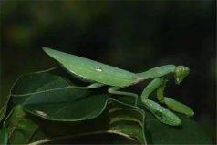 世界十大恐怖螳螂,非洲绿巨螳位列第一