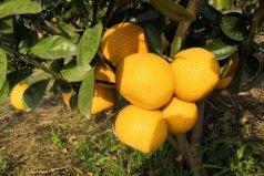 南平建阳十大特产:建阳桔柚、建阳白茶上榜