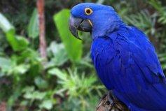 世界上最大的鹦鹉:紫蓝金刚鹦鹉体长可达1米