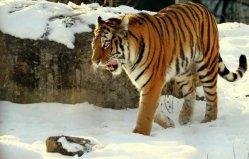 """中国最大的食肉动物:东北虎有""""丛林之王""""之美称"""