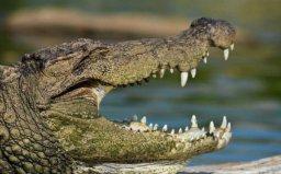 世界上最大的爬行动物:湾鳄体长可达7米