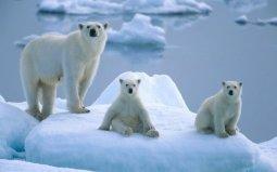 世界上最大的北极熊:体重高达800公斤