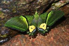 世界八大名贵蝴蝶:极乐鸟翼凤蝶上榜,金斑喙凤蝶夺得第一
