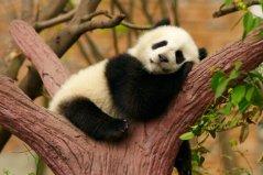 世界十大顶级国宝动物:考拉屈居第四,大熊猫夺得冠军