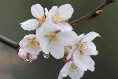 十大最常见的樱花品种:东京樱花居首