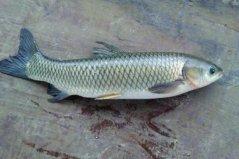中国最常吃的十种淡水鱼:鲤鱼上榜,草鱼排第一