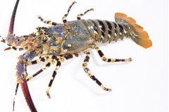 全球十大龙虾品种:波士顿龙虾上榜,澳洲龙虾夺冠