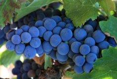 世界十大红葡萄品种:赤霞珠摘得桂冠