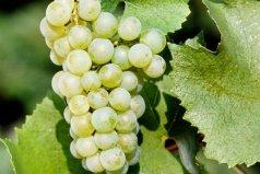 世界十大白葡萄品种:雷司令上榜,霞多丽居榜首