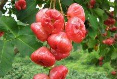 形状最奇葩的十大水果:灯笼果垫底,莲雾夺冠
